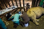 Researchers harvest rhino eggs to make 'test-tube' babies
