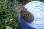 Heroic man rescues hedgehog doomed to die