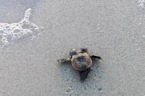Two-Headed Turtle Hatchling Found In Florida