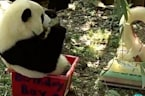 Watch Bei Bei Enjoy His 'Panda-Friendly' Cake For Second Birthday