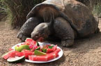 Birthday tortoise receives watermelon cake in Australia
