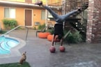 Chihuahua steals the spotlight with balancing skills
