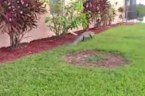 'Suspicious package' in Florida turns out to be gator on front porch