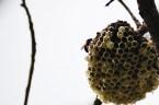 Mann sticht in riesen Hornissen-Nest, dann drehen die Tiere durch...