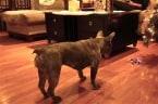 Daisy the French Bulldog versus Mini Quadcopter!
