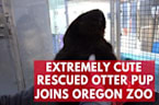 Extremely Cute Rescued Otter Pup Joins Oregon Zoo
