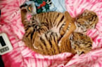 Rare Amur Tigers Born In Connecticut Zoo