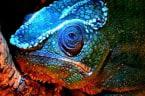 Chameleons Found To Have Blue Fluorescent Patterns That Show Up Under UV Light
