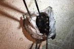 Hundreds of spiders burst from egg sac