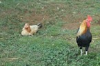 Why Roosters Don't Go Deaf From Their Crows