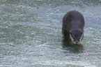 Otters break the ice to get to the water