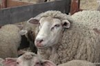 Scientists Create Human-Sheep Hybrid