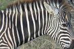 Helpful bird eagerly styles zebra's mane
