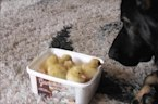 Motherly Dog Immediately Falls In Love With Ducklings Upon Introduction