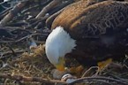 Second eaglet hatches in Washington, D.C.