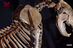 Rare Skeleton of Extinct Cave Bear is Up For Sale