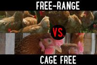 Free-Range vs. Cage Free