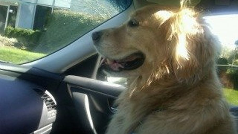 Faux-Paws: The Happy Traveling Retriever