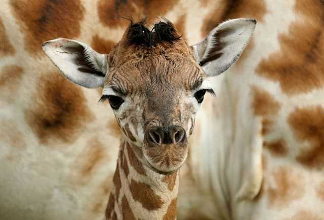 Best ever giraffe photos