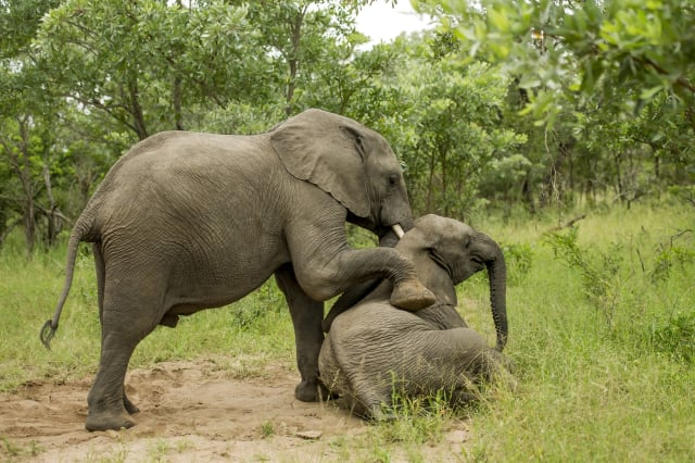 'Tipsy' elephants at Singita Kruger National Park