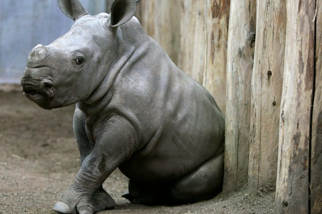 Pictures of baby rhinos