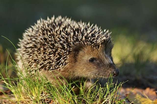 Hedgehogs: Everything you need to know