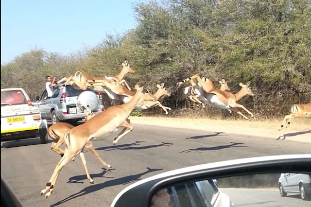 Impala jumps into tourists' car to escape cheetah