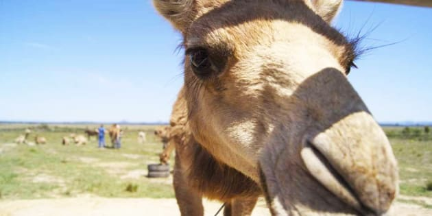 Lauren Brisbane says that camels are highly intelligent