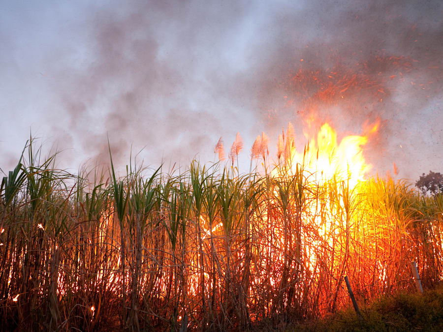 Sugarcane has been traditionally burned before