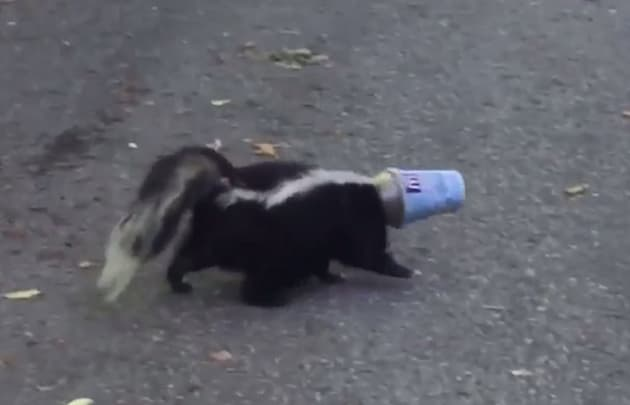 Multiple skunks in Canada seem to have run into this specific situation. (Photo: Screengrab/Viral