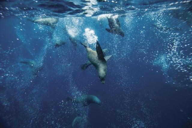 Fur seals, Tasman Peninsula