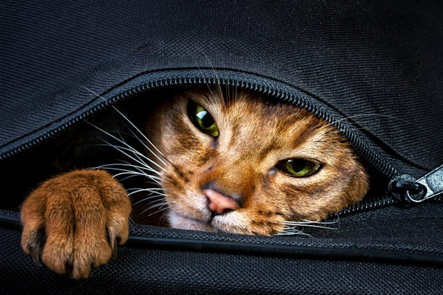 Abyssinian cat in the bag