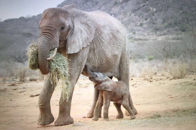 Orphaned elephant brings baby calf back to wildlife trust