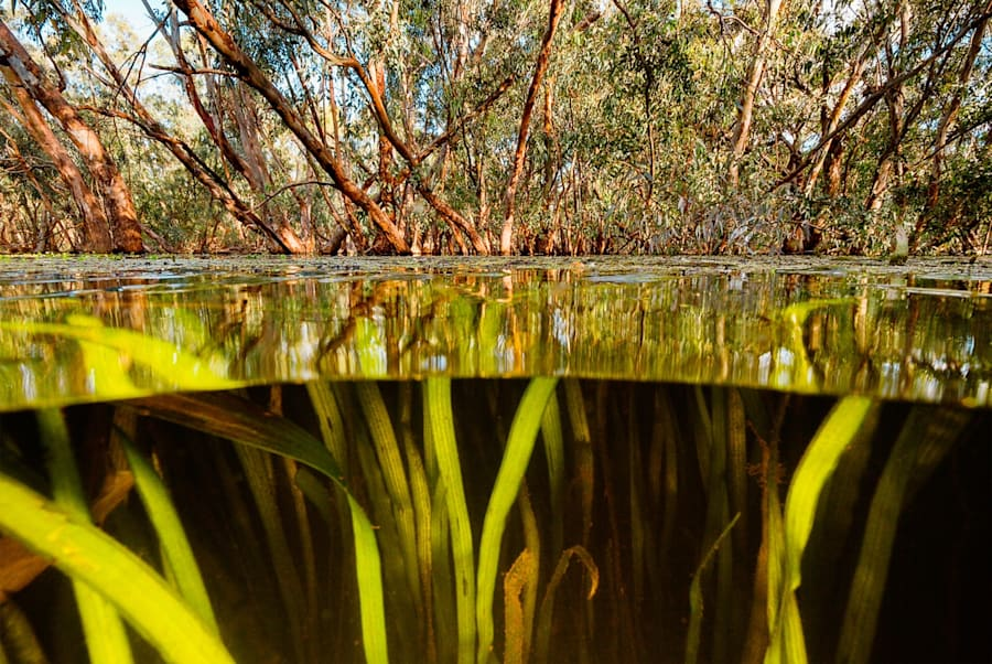 Clear water in an area not affected by carp, Macquarie Marshes,