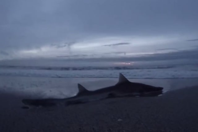 Stranded shark rescued from New Jersey beach