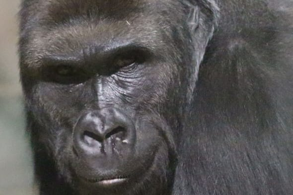 Gorilla moved to Belfast from Bristol zoo in attempt to get him to mate