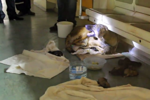 Stray dog gives birth on Moscow metro train