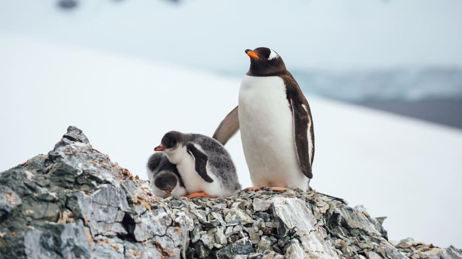 Adelie penguins in