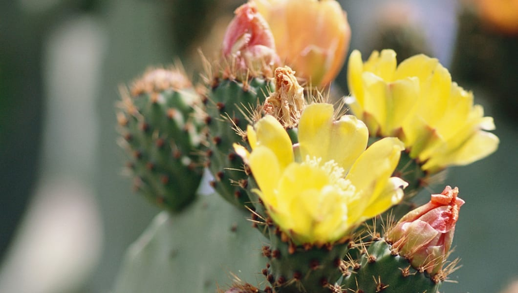 Prickly pear cactus in blossom, close-up
