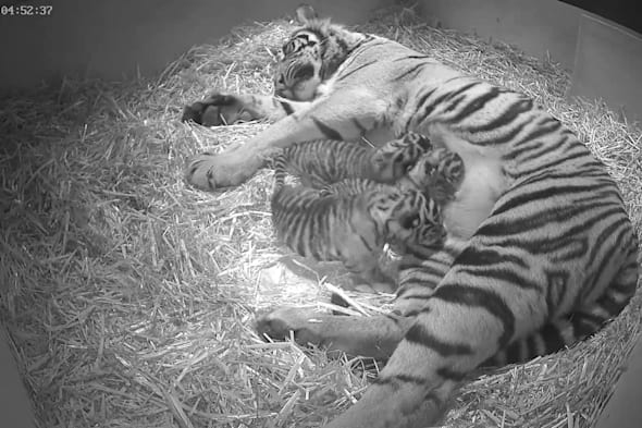 EMBARGOED TO 0001 THURSDAY MARCH 13Undated handout photo issued by the Zoological Society of London (ZSL), of as-yet unsexed triplet Sumatran tiger cubs, which were born at the zoo, to five-year-old Sumatran tigress Melati, on 03/02/14  following a 106-day pregnancy. PRESS ASSOCIATION Photo. Issue date: Wednesday March 12, 2014. See PA story ANIMALS Tigers. Photo credit should read: Zoological Society of London/PA WireNOTE TO EDITORS: This handout photo may only be used in for editorial reporting purposes for the contemporaneous illustration of events, things or the people in the image or facts mentioned in the caption. Reuse of the picture may require further permission from the copyright holder.