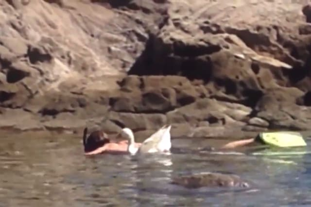 Man goes snorkelling with pet goose