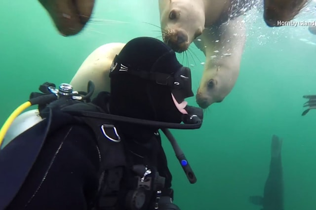 Sea lions get up close and personal with diver
