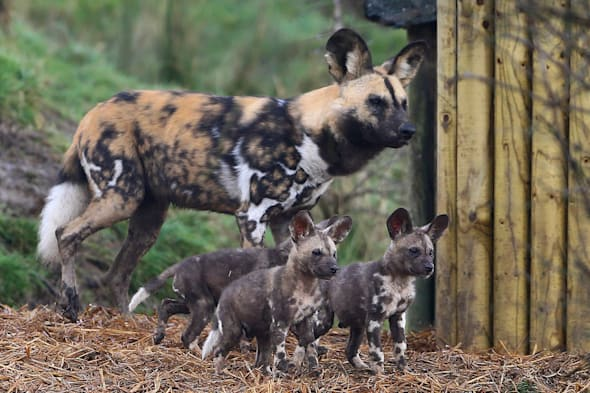 Endangered painted dogs make their park debut (very cute pics)