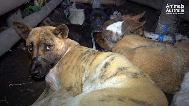 Dogs are kept in small pens, bound and gagged, for up to a week before being