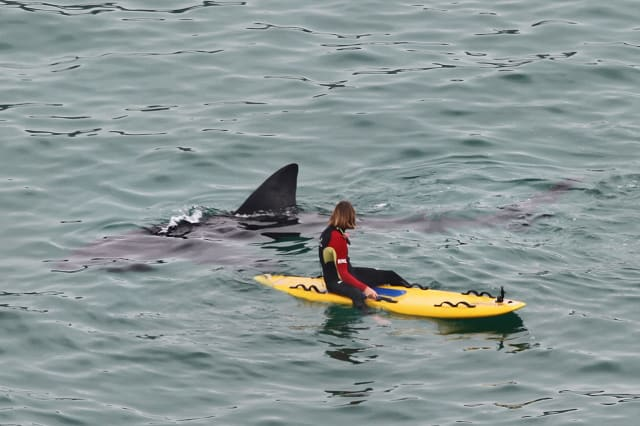 Basking sharks spotted off coast of Cornwall