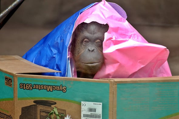 Court in Argentina grants basic human rights to orangutan