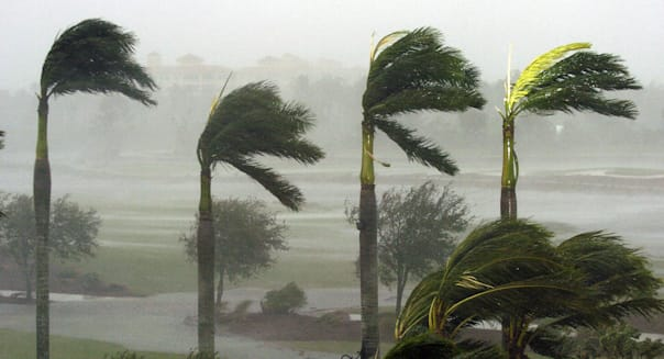 Palm trees at a hotel bend in the fierce