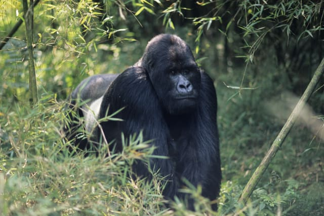 Silverback gorilla charges tourists in Rwanda