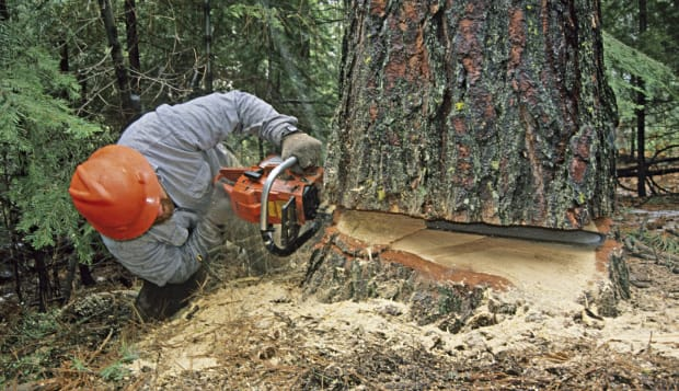 Logger falling a pine tree