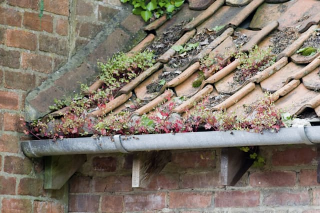 Plants growing on the roof tiles and in the guttering